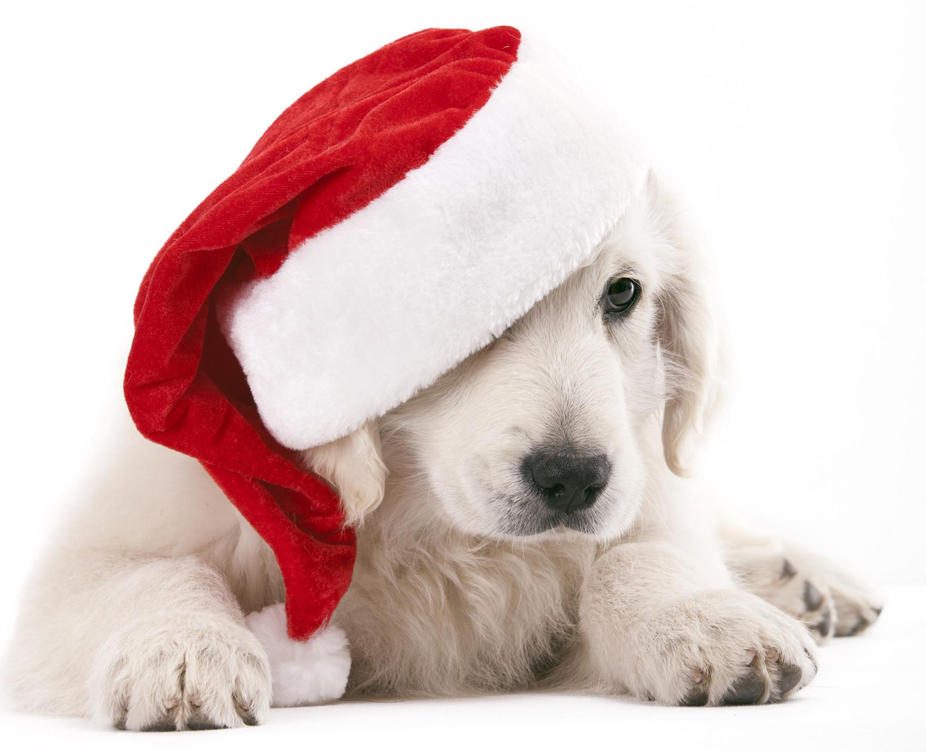 cucciolo labrador bianco con cappellino natale